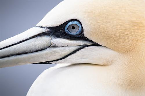 Helgoland, Basstoelpel